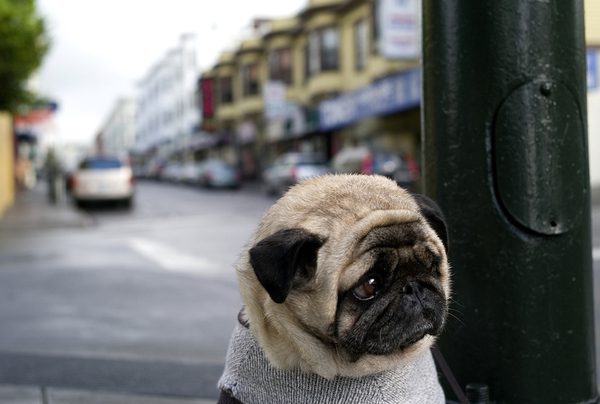 Pugs Are Always Good Here. Even Sad Ones :o(